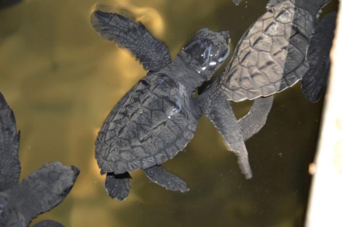 Sea-Turtle-Farm04