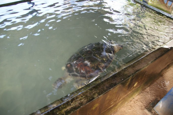 Sea-Turtle-Farm08