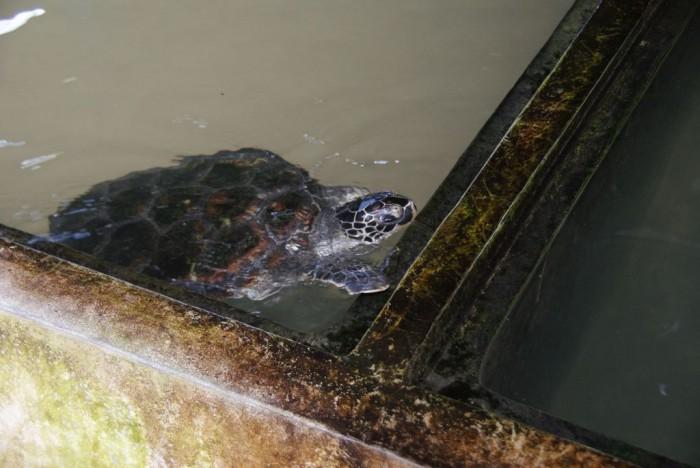 Sea-Turtle-Farm10