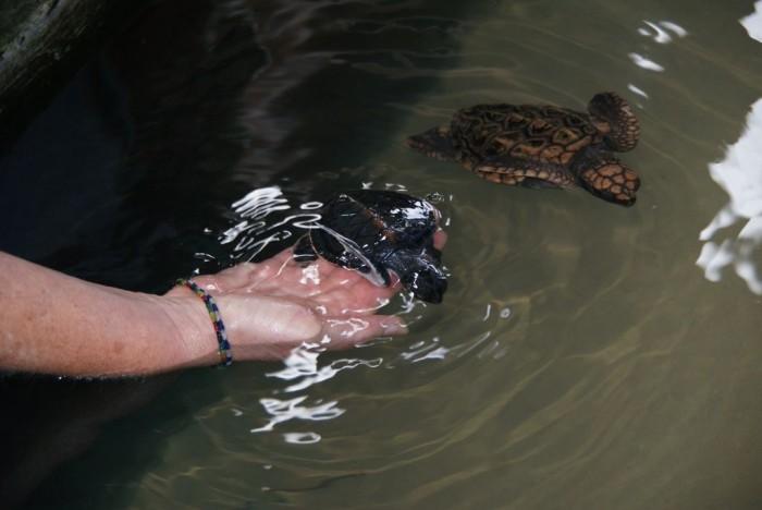 Sea-Turtle-Farm13