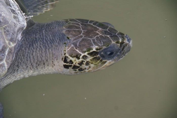 Sea-Turtle-Farm14