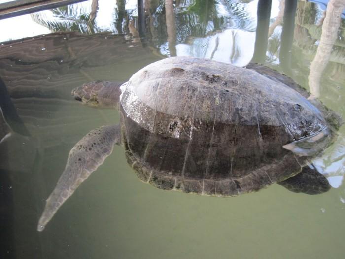 Sea-Turtle-Farm22