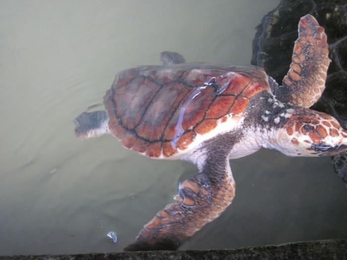 Sea-Turtle-Farm23