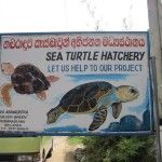Sea-Turtle-Farm30